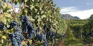 Des raisins mûres sur les vignes