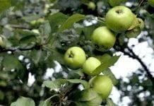 des pommes vertes sur un pommier