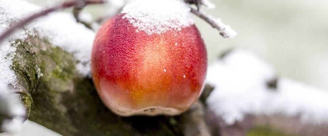 Une pomme encore sur le pommier malgré la neige dont elle est couverte
